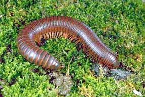 Brown Worms with Legs http://www.magicexterminating.com/pests/Millipedes-137.asp