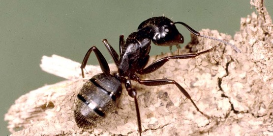 Carpenter Ants Exterminator
