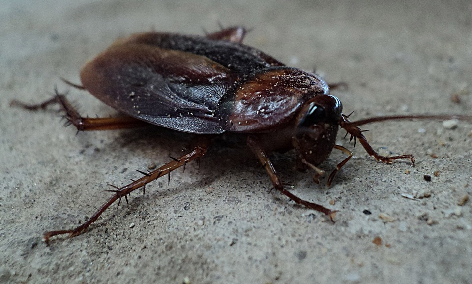 Cockroach Exterminator in NYC